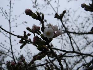 3 桜アップ
