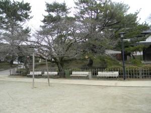 4 ベンチと桜