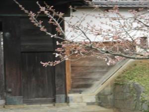 1-1 桜アップ