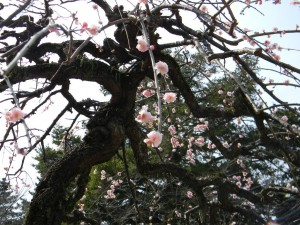 亀城公園 梅 中