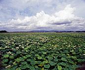 """Flower Spot """"Lotus Field"""""""
